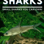 Freshwater Aquarium Sharks: Small Sharks You Can Own!-pin