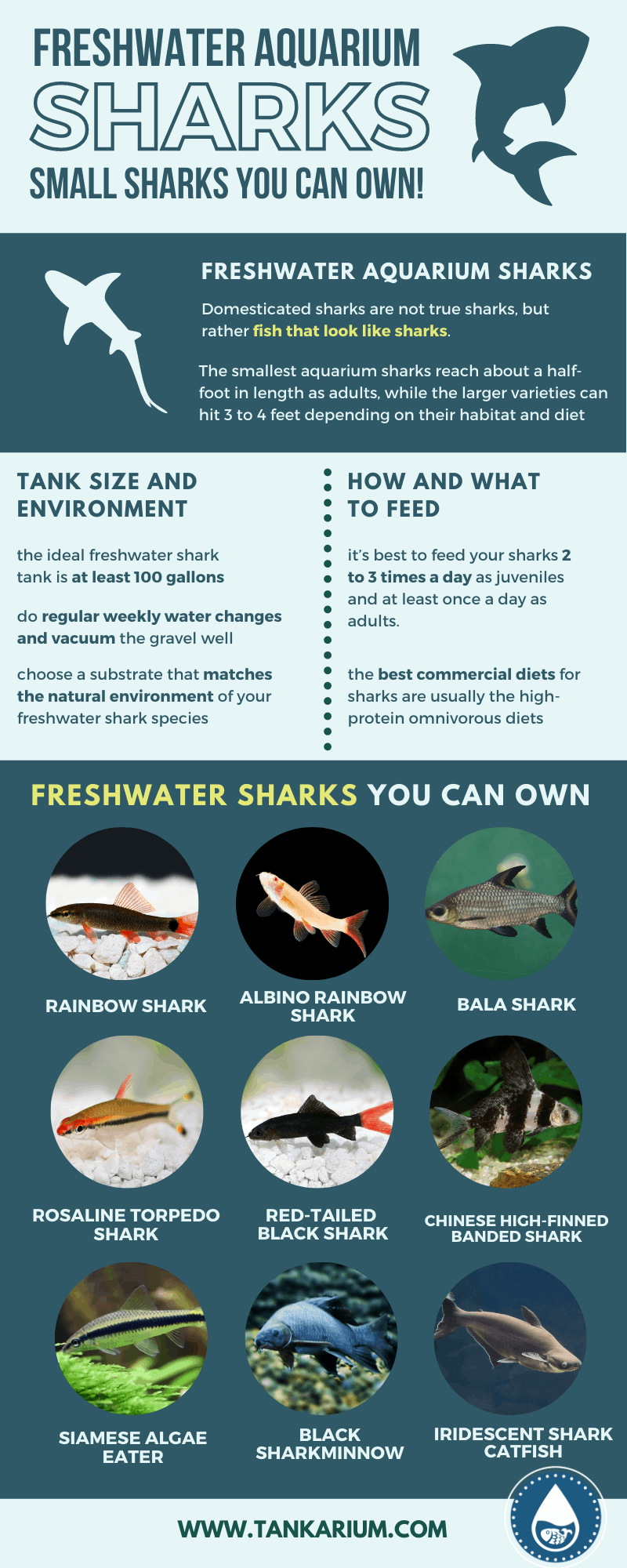 Freshwater Aquarium Sharks_ Small Sharks You Can Own!- infographic