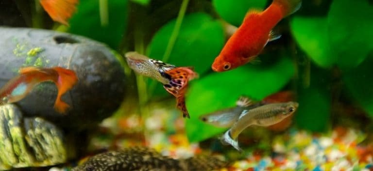 Freshwater Fishes swimming in the aquarium with plants and substrate