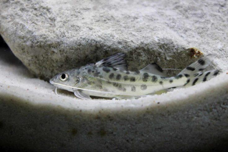 Pictus Catfish hiding on white sand.