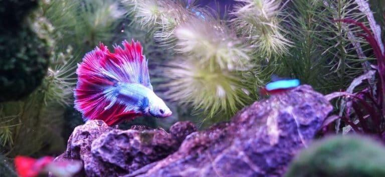 Betta Fish swimming in aquarium with plants and rocks