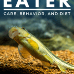 Chinese Algae Eater Care, Behavior, and Diet - pin