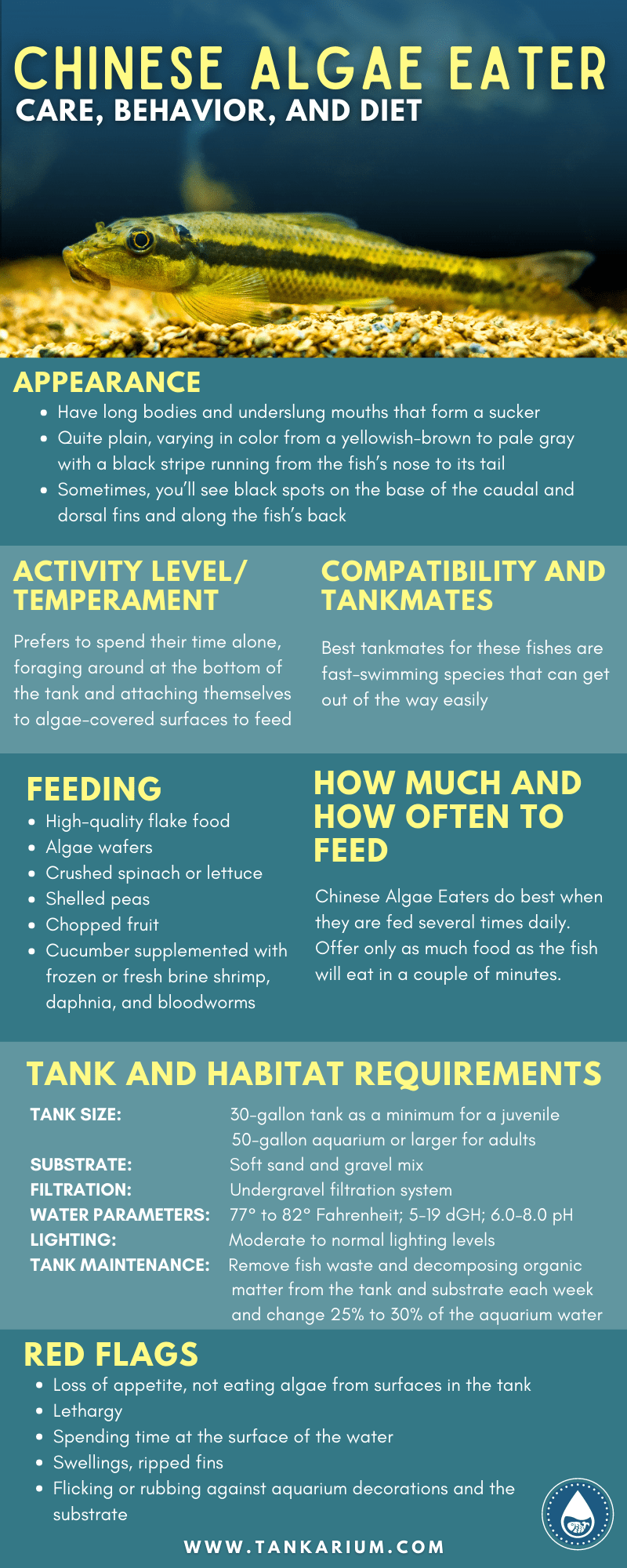 Chinese Algae Eater Care, Behavior, and Diet -infographics