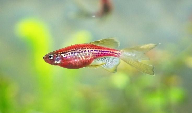 Danio fish inside aquarium.