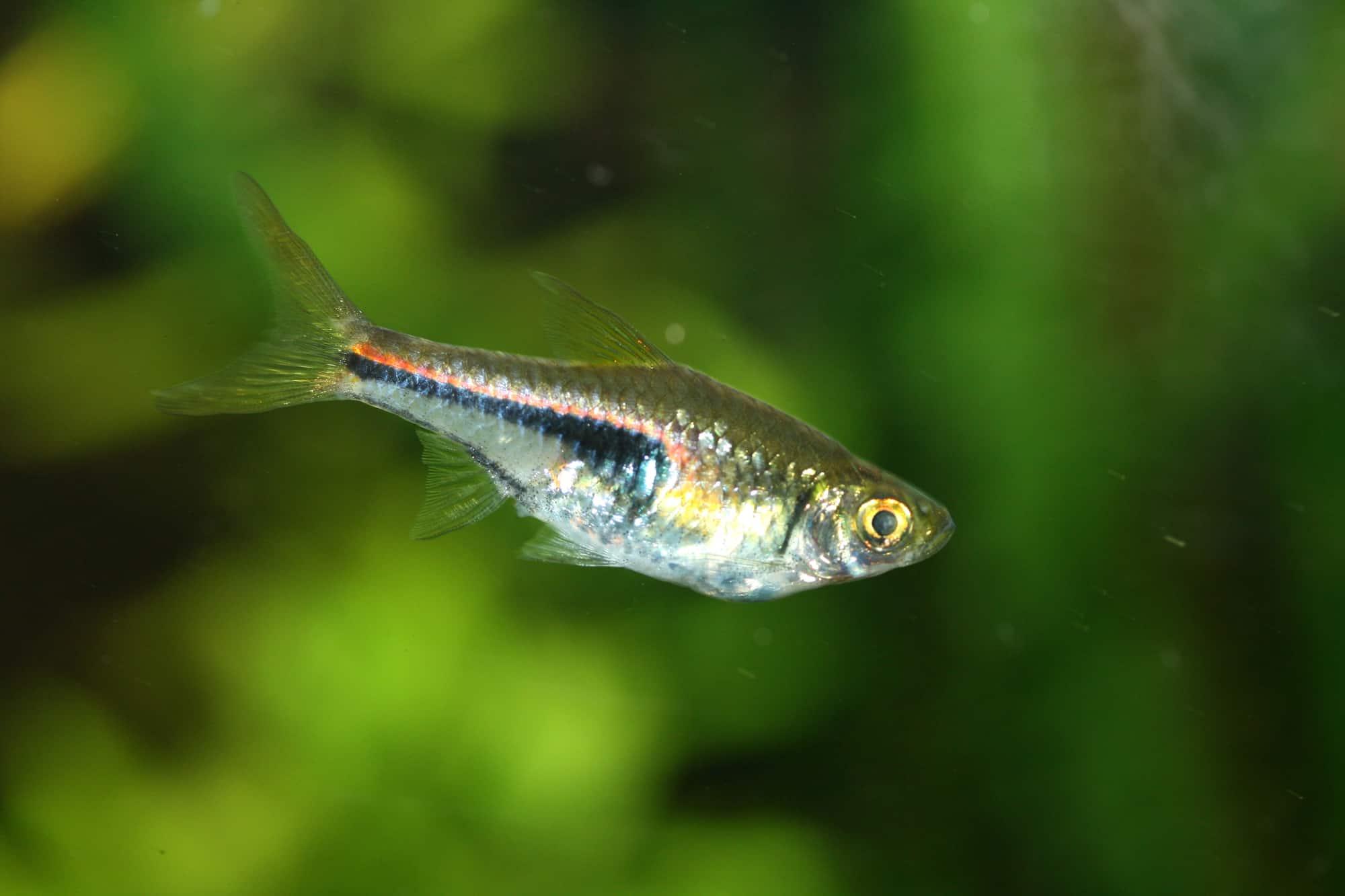 The Harlequin Rasbora (Rasbora heteromorpha) a popular freshwater aquarium fish Der Keilfleckbärbling (Rasbora heteromorpha) ein beliebter Süßwasser-Aquarienfisch