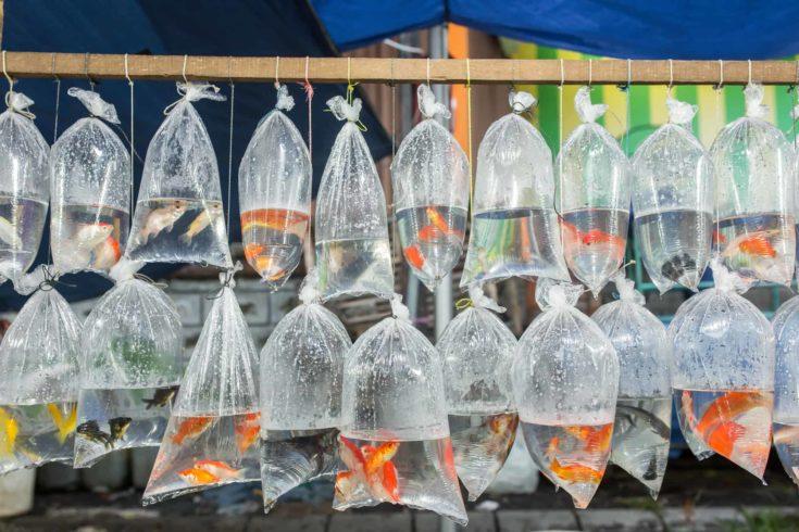 Aquarium fish displayed in plastic bags for sale in local market in Bali, Indonesia