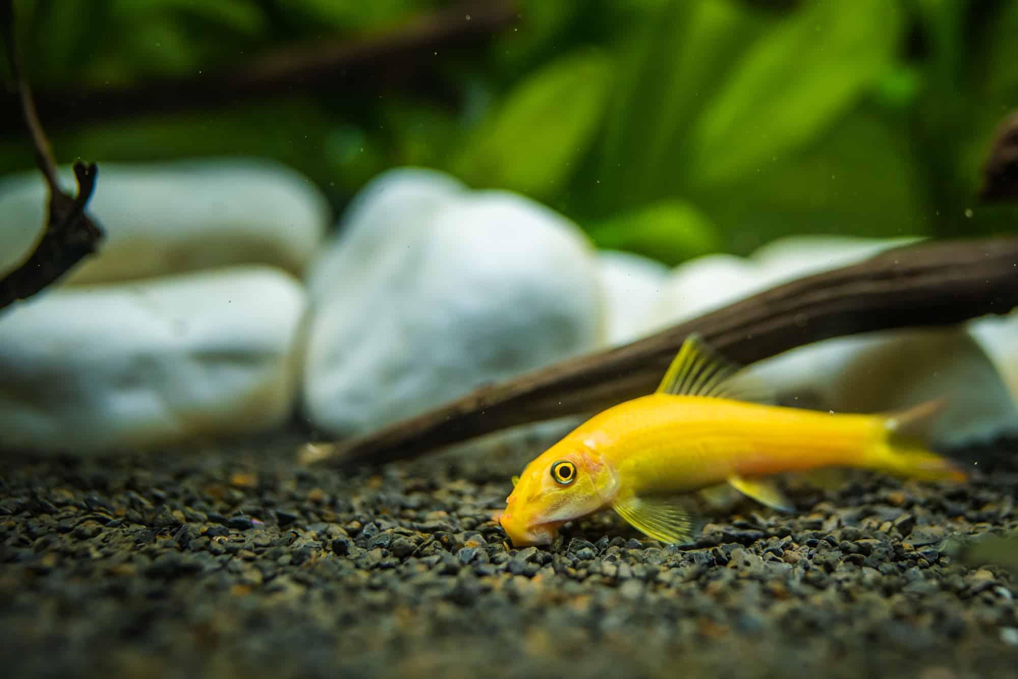 Yellow chinese algaey eater - Gyrinocheilus in fishtank cleaning gravel.