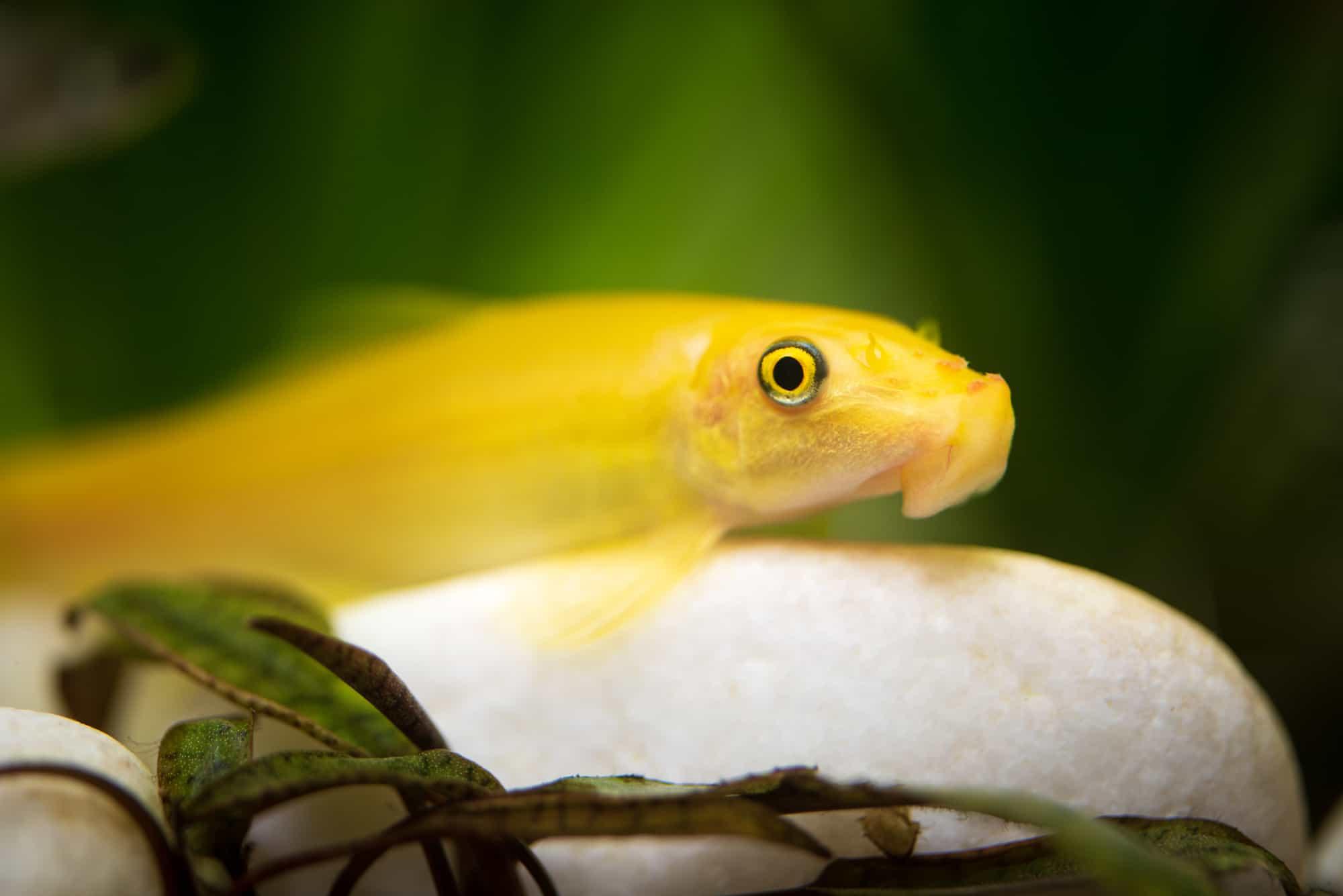 Yellow chinese algaey eater - Gyrinocheilus in fishtank cleaning stone. Aquaria concept