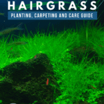 Dwarf Hairgrass: Planting, Carpeting, and Care Guide -pin