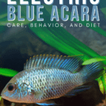 Electric Blue Acara Care, Behavior, and Diet - Pin