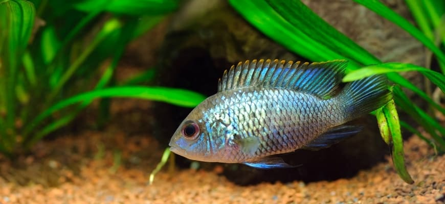 Focus shot of Electric Blue Acara fish.