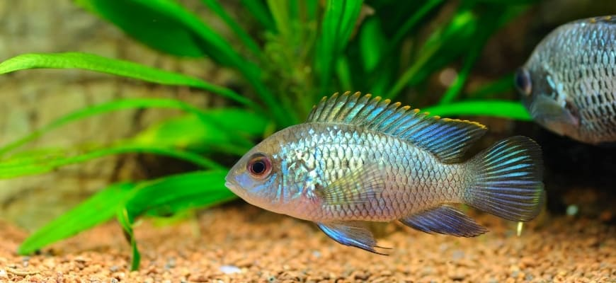 Electric Blue Acara swimming at the bottom with substrate and plants