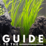 Guide to the Vallisneria Aquatic Plants - Pin