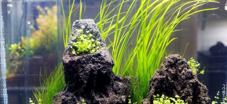 Vallisneria plant and rocks in the aquarium