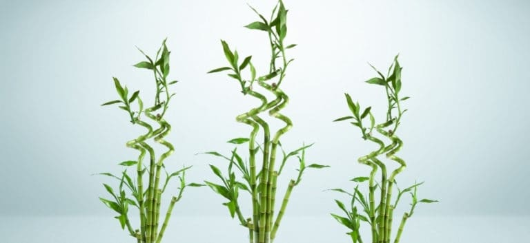 Three lucky bamboo in a light blue background.