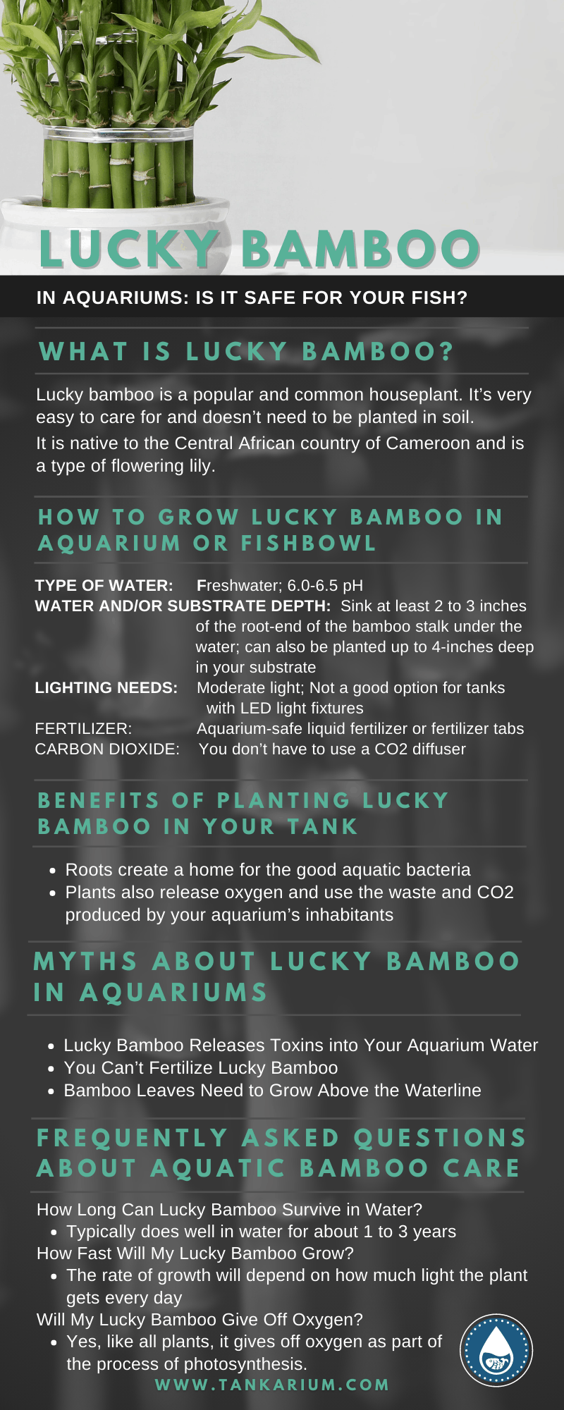 Lucky Bamboo in Aquariums: Is it Safe for Your Fish? - Infographic