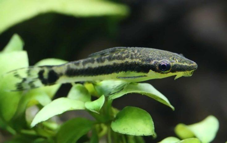 Closeup of an otocinclus in planted aquarium