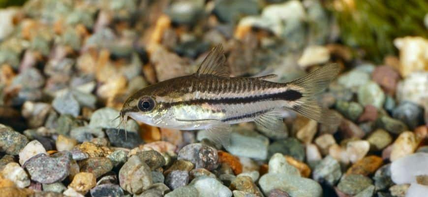 Fish swimming, pebbles