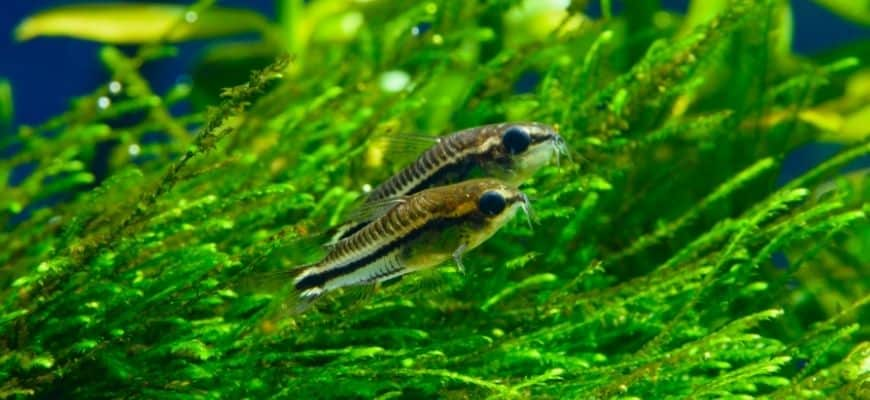2 fish swimming in a tank with green plants