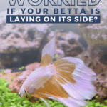 Should You be Worried if Your Betta is Laying on its Side? -pin