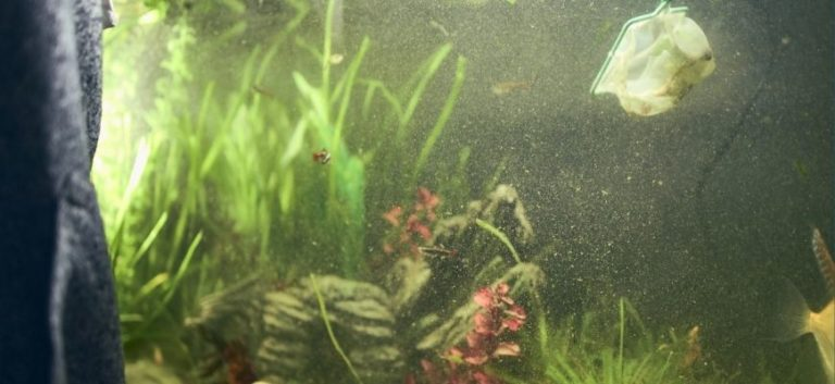 Plants and fish in the aquarium with cloudy water