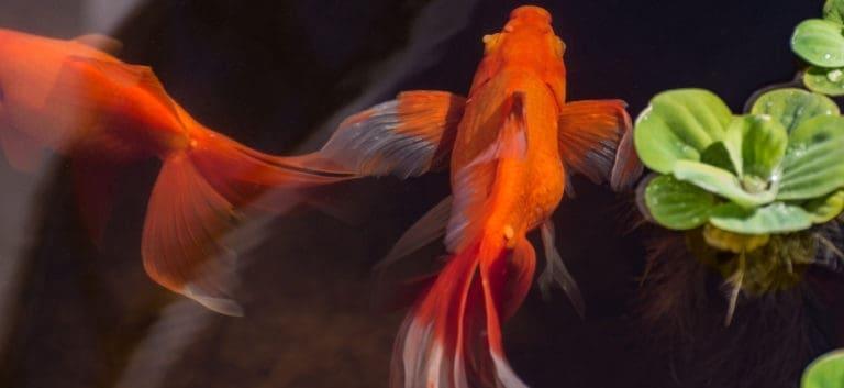 2 Watonai Goldfish swimming with plants