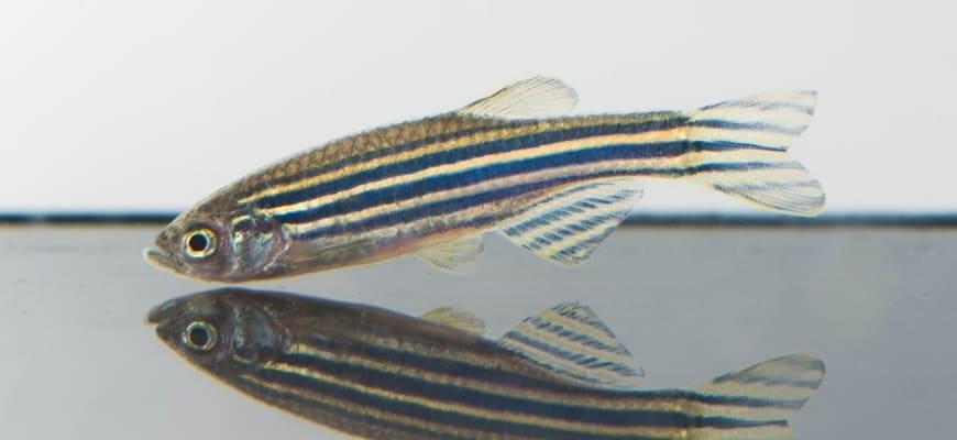 Zebra Danio swimming at the bottom of the aquarium