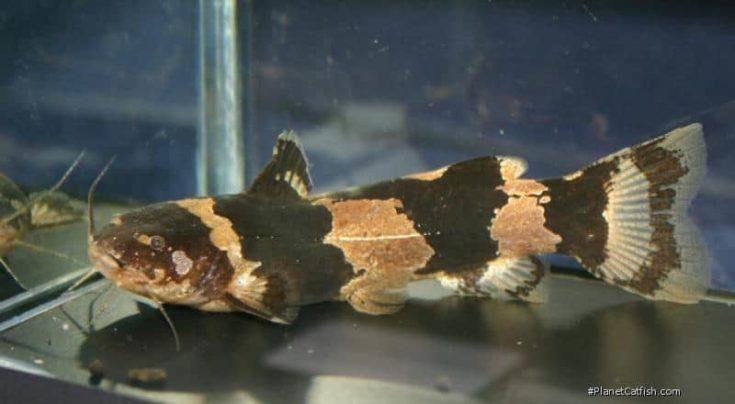 South American Bumblebee Catfish