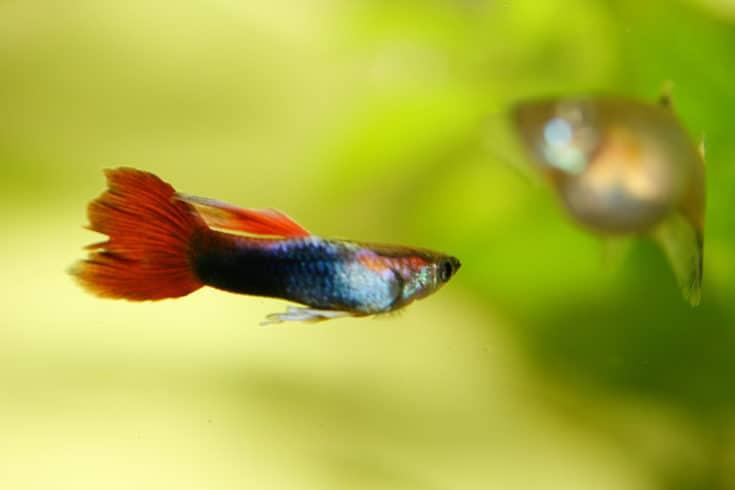 A male guppy (Poecilia reticulata), a popular freshwater aquarium fish
