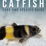 Bumblebee Catfish Care and Species Guide - pin
