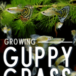 Growing Guppy Grass: Complete Aquatic Plant Guide - pin