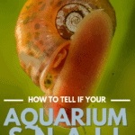 How To Tell If Your Aquarium Snail Is Dead Or Just Sleeping - pin