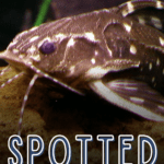 Spotted Raphael Catfish: Care and Species Guide - pin
