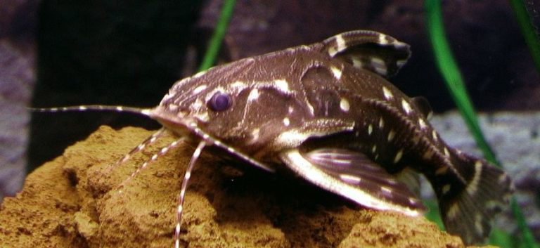 Spotted Raphael Catfish gliding on the rock