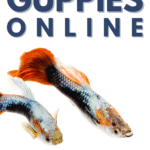11 Best Places to Buy Guppies Online - Pin