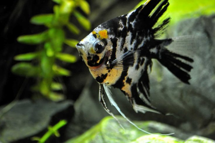 Angelfish (Pterophyllum)