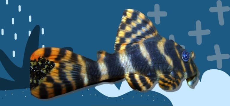 Colorful Clown Pleco in blue printed background