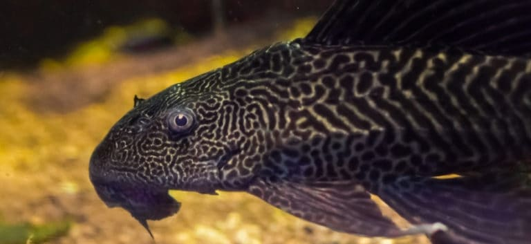 Common Pleco swimming with blurry background