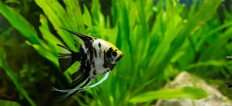 Angelfish swimming in the aquarium with green plants.