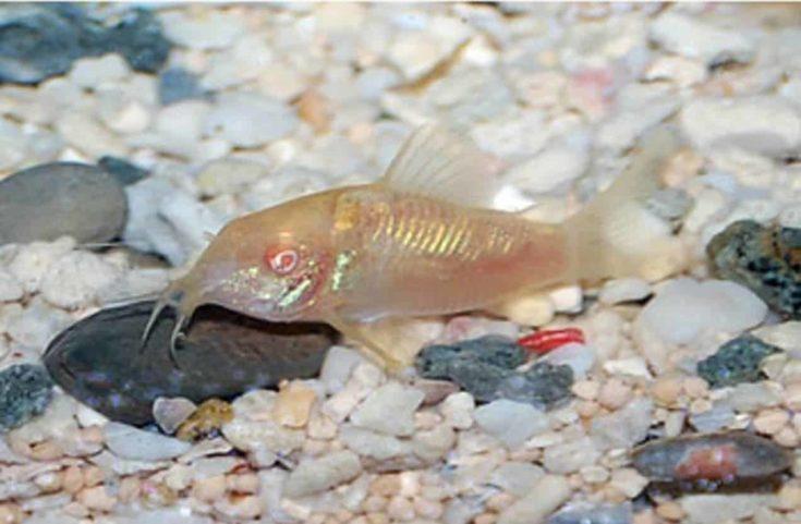 Corydoras catfish (Corydoras Sp.)