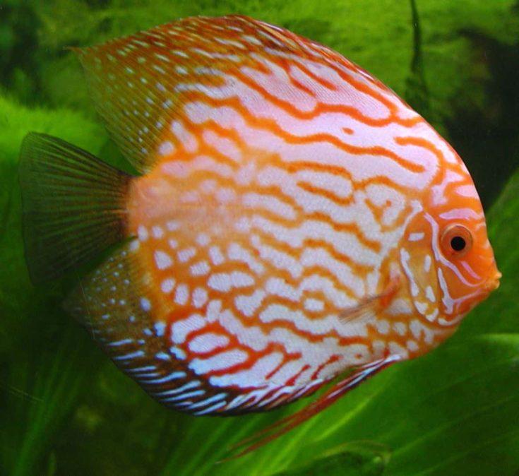 Discus Fish (Paracheirodon axelrodi)