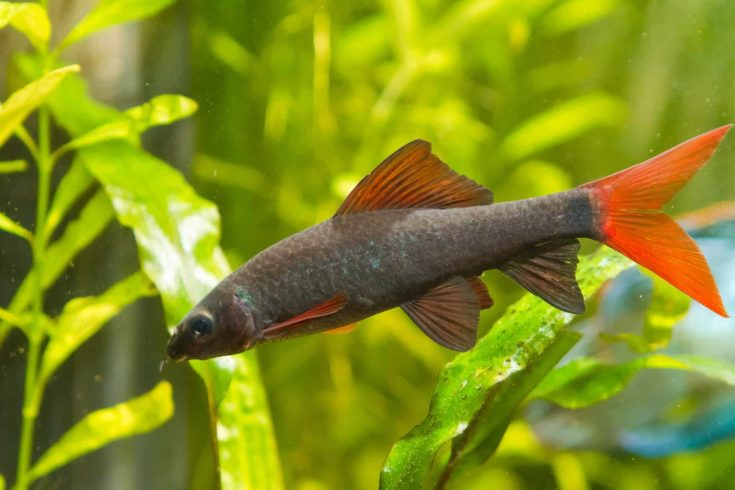Epalzeorhynchos frenatus, freshwater cleaner fish, nature aquarium, closeup nature photo
