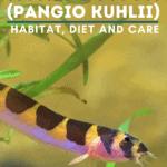 Kuhli Loach (Pangio Kuhlii) - Habitat, Diet and Care - pin