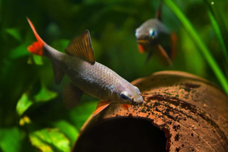 popular freshwater cleaner fish Epalzeorhynchos frenatus, couple spawning in nature aquarium