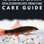 Rainbow Shark (Epalzeorhynchos Frenatum) - Care Guide - Pin