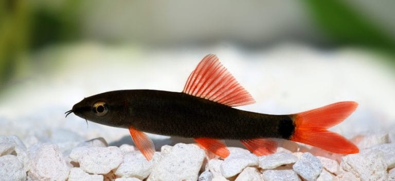 Rainbow Shark swimming at the bottom with white stones