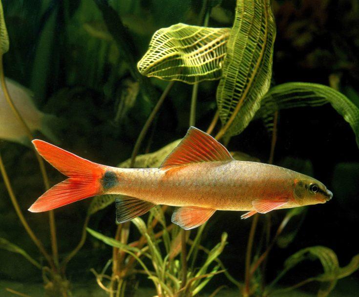 Ruby Shark or Rainbow Shark, epalzeorhynchos frenatus