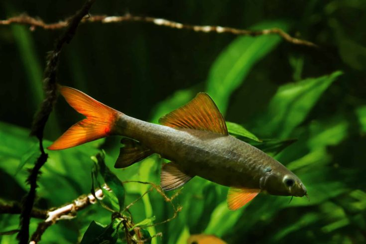 rainbow shark or sharkminnow, popular and useful freshwater cleaner adult fish Epalzeorhynchos frenatus in nature aquarium with bright healthy vegetation and driftwood
