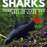 Red Tail Sharks: Tank Set-Up, Care and Species Guide - Pin