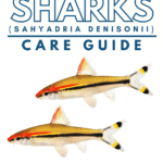 Rosaline Shark (Sahyadria denisonii) - Care Guide - Pin
